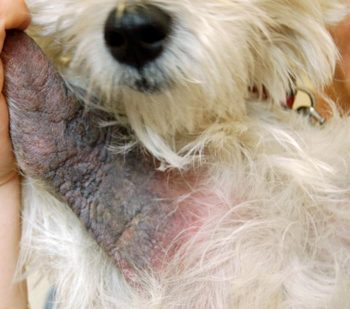 Small animal allergic reactions: taking a multimodal therapy strategy