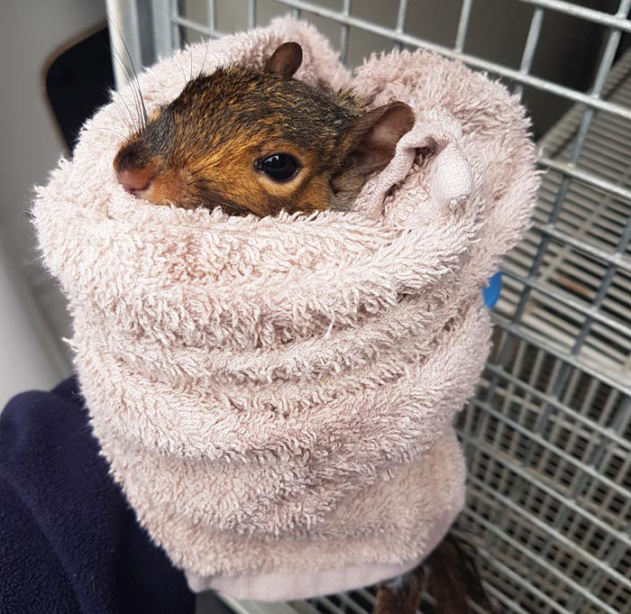 Squirrel after being rescued.