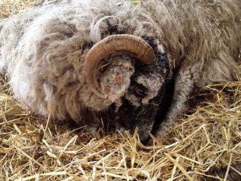 Ketosis in sheep: causes, medical indicators and prevention in ewes