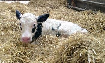 Replace on nationwide bovine viral diarrhoea eradication scheme