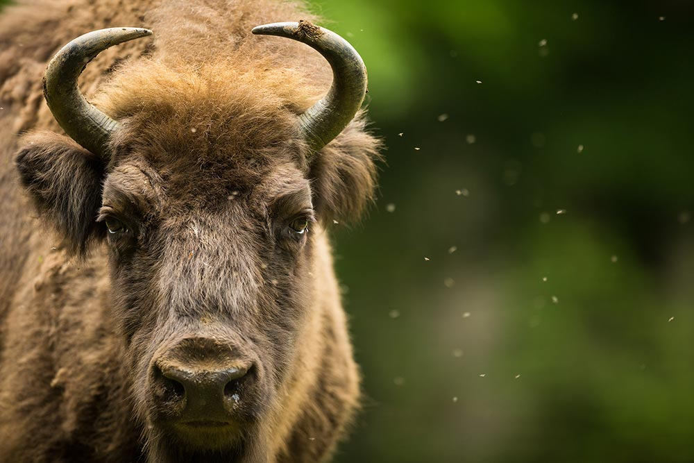 Farming future – deer, buffalo and bison?