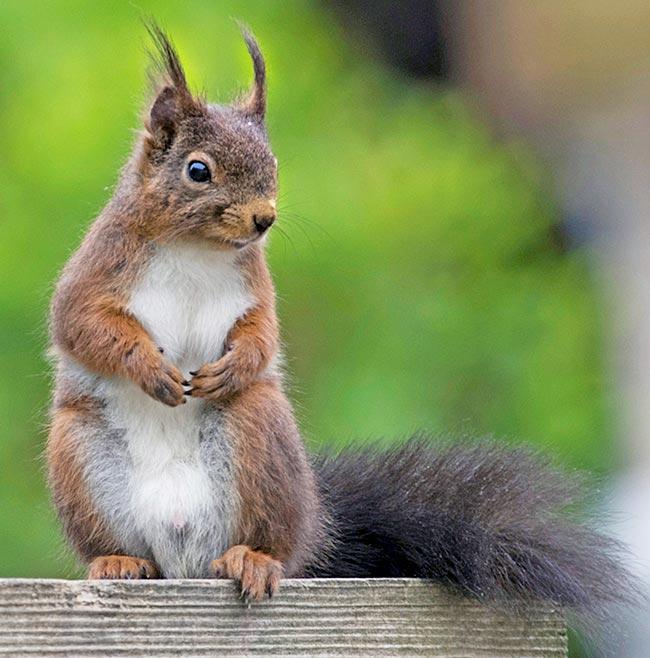 Threats to Scotland's crimson squirrels