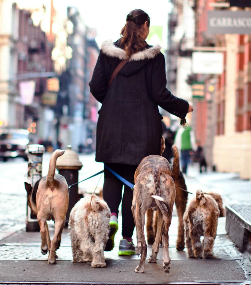 """""""Aha, I hear you say, my dog walker is insured. Yes, that's great, but have you asked what they are insured for? The huge majority are covered for third party cover, but fewer will also cover for health claims if your insurance is invalidated."""" Image © Char Beck / Adobe Stock"""