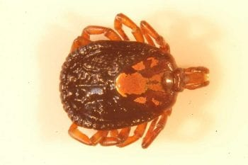 Figure 2 (inset). Amblyomma habreum tick with very prominant festoons and decoration. Image: John McGarry, University of Liverpool.