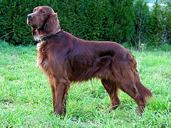 Can Setter dog GFDL