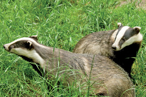 The badger culls have been revised by Defra after low numbers were killed by marksmen