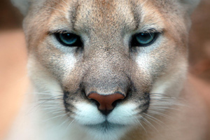 According to one of the papers, the cougar is in danger of contracting infectious diseases from domestic cats.