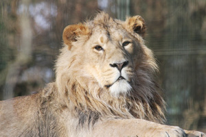 It is hoped Jayendra, who joined the zoo in 2012, will become a mate for Kamlesh when he has fully matured, helping Edinburgh Zoo's conservation efforts.