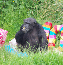 Koko getting stuck into her party cake.