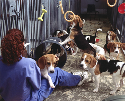 Group housed dogs used in safety testing of pharmaceuticals, August 2000.