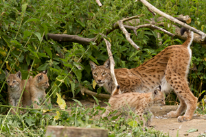 Zoo visitors have been enjoying the lynx effect | Vet Times