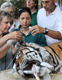 Pedang the tiger being treated with FoamOtic