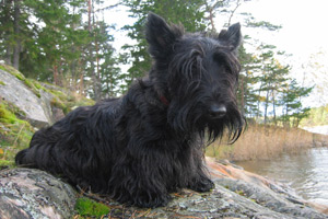 Research has led scientists to believe Scottish terriers have a genetic predisposition to bladder cancer.