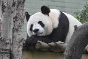Zoo workers had hoped Tian Tian would mate naturally with Yang Guang, especially as they did not in 2012.