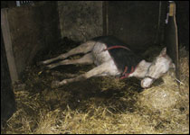 Amersham: dead grey horse lying in stable