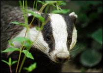 Wales will begin its badger cull