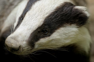 A four-year programme to vaccinate badgers against bovine tuberculosis (bTB) has begun in Somerset.