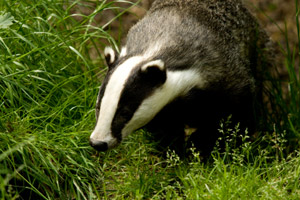 Badgers being vaccinated in Wales