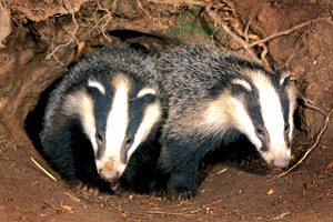 New report suggests that BCG vaccination has a knock-on positive effect within the sett.