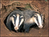 Farmers and landowners will be licenced to cull badgers, at their own expense