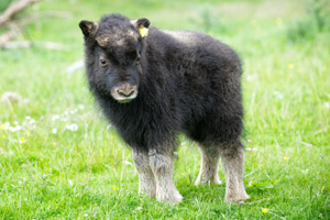 Belle is the first muskox to be born in the UK for 17 years, and lives in a special enclosure with her parents Karin and Myse.
