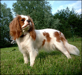 Two years old Cavalier King Charles Spaniel. Author, Philippe Brizard.