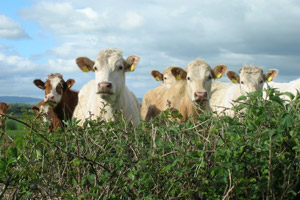 The AHVLA says it hopes the new study will help prevent spread of bovine TB in south Wales.