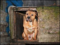 Operation Snape recovered 2 pitbull type dogs and 1 bull terrier type in a dawn raid at the home of Mohammed Nasir