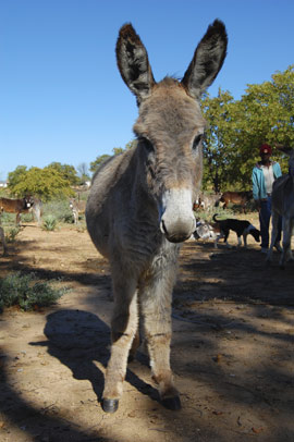 It is estimated that there are at least 175,000 working donkeys in the villages that SPANA will visit as part of the new service.