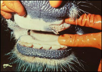 Oral vesicle in a cow with foot-and-mouth disease