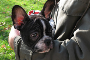 The French bulldog was one of the breeds who discussed the work being done to improve health