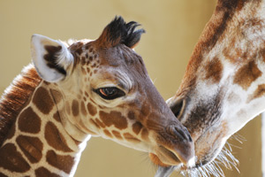 Unnamed baby giraffe