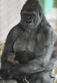 Ozala with her baby, which was born at Twycross Zoo in Warwickshire.