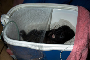Mountain gorilla orphan Ndakasi in a makeshift oxygen tent after contracting pnenomia. Ndakasi's mother was killed in 2007 Gorilla Murders in Virunga National Park, DRC. (Photo: Dr. Mike Cranfield/MGVP)