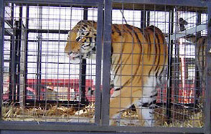 A tiger from the Great British Circus, circa 2004.