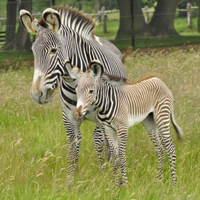 Grévy's zebra and mum at ZSL Whipsnade Zoo.