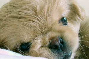 The Pekingese breed is one that is known to have eye problems