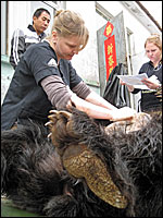 Heather Bacon at work (Image ©Animals Asia)