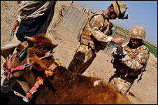 Sergeant Major Greg   Reeve, 39, from Upavon in Wiltshire helps Captain Miles Malone treat a   cow