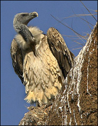 Long Billed Vulture (or Indian Vulture) - Gyps indicus. Image courtesy Nidhin Poothully, Bangalore, India.