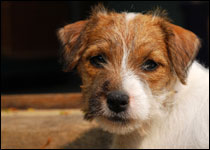 UK scientists save terriers from blinding condition