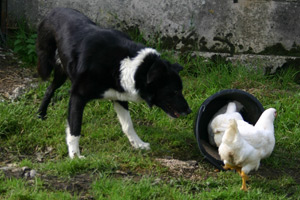 Jack the three-legged sheepdog has been named Farm Dog of the Year by the NFU.
