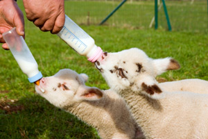 Frank Wright Trouw has recalled batches of its whey and skim milk replacers after the products started to make lambs ill.