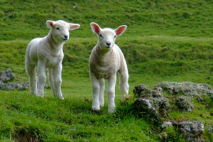 Nematodirus can strike without warning and have a devastating effect on lambs at certain stages of their development.