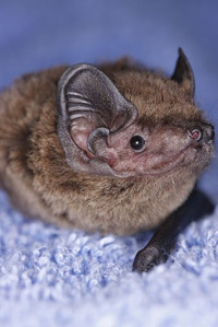 The RSPCA West Hatch wildlife centre in Somerset had a very rare visitor last year: an extremely weak juvenile Leisler's bat had to be rehabilitated for more than a month before he could be released.