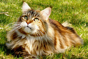 Maine Coon Jason escaped and was never seen again (pic from stock photography)