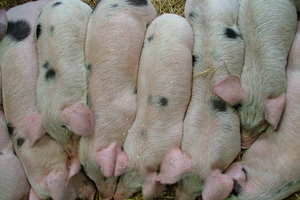 Two men have pleaded guilty for beating pigs on a farm (file picture)