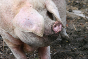 Adverts marketing Red Tractor pork have been banned by the Advertising Standards Authority