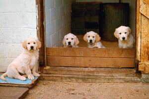 Millions fooled into buying unhealthy 'mail order' puppies