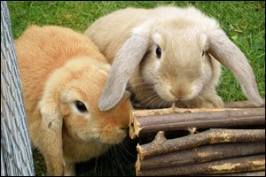 DEFRA has no current plans to publish a code of practice on the welfare of pet rabbits.